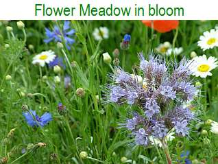 Flower Meadow in bloom - June 2013