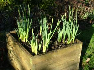 Daffodil-Narcissus