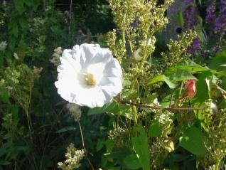 Hedge Bindweed-Calystegia sepium