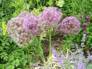 Allium-Allium