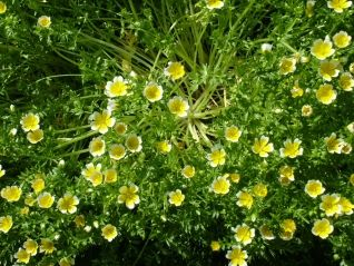 Poached egg plant-Limnanthes douglasii