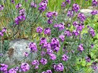 Wallflower-Erysimum linifolium
