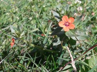 Scarlet Pimpernel-Anagallis arvensis