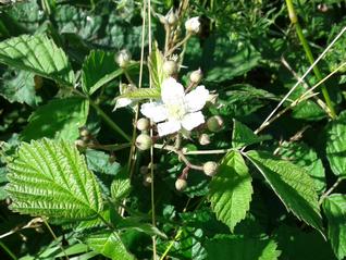 Bramble-Rubus fruticosus