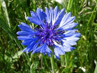 Cornflower-Centaurea cyanus