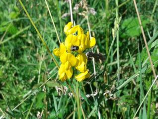 Meadow Vetchling-Lathyrus pratensis