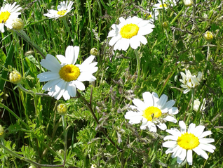Oxeye Daisy-Leucanthemum vulgare