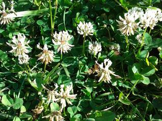 White Clover-Trifolium repens
