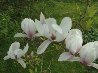 Magnolia(Magnolia)