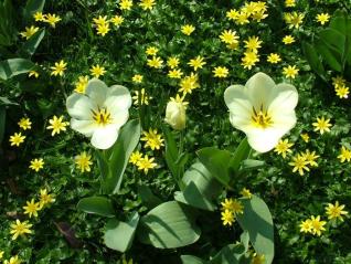 Tulip(Tulipa)