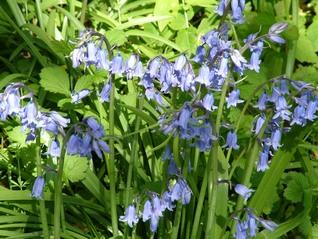 Bluebells-Hyacinthoides non-scripta