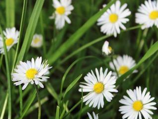 Daisy - Leucanthemum vulgare