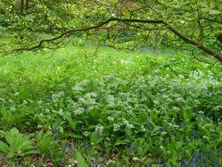 Wild Garlic - Allium ursinum