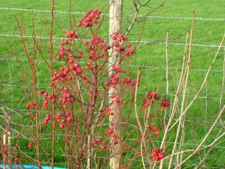 Hedge Berries