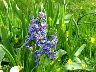 Hyacinth-Hyacinthus orientalis