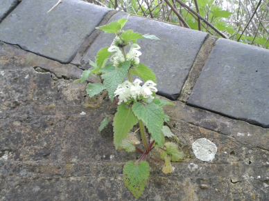 Stinging Nettle-Urtica dioica (Male Flower)