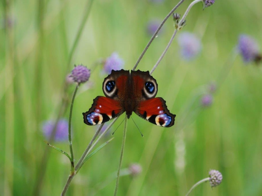 Peacock Butterfly. Photo: Ian Talboys