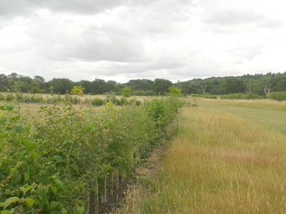 Hedge Planting - July 2015 - Godfrey Meadow seventeen months on
