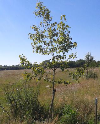 Wild Service Tree - Sorbus torminalis
